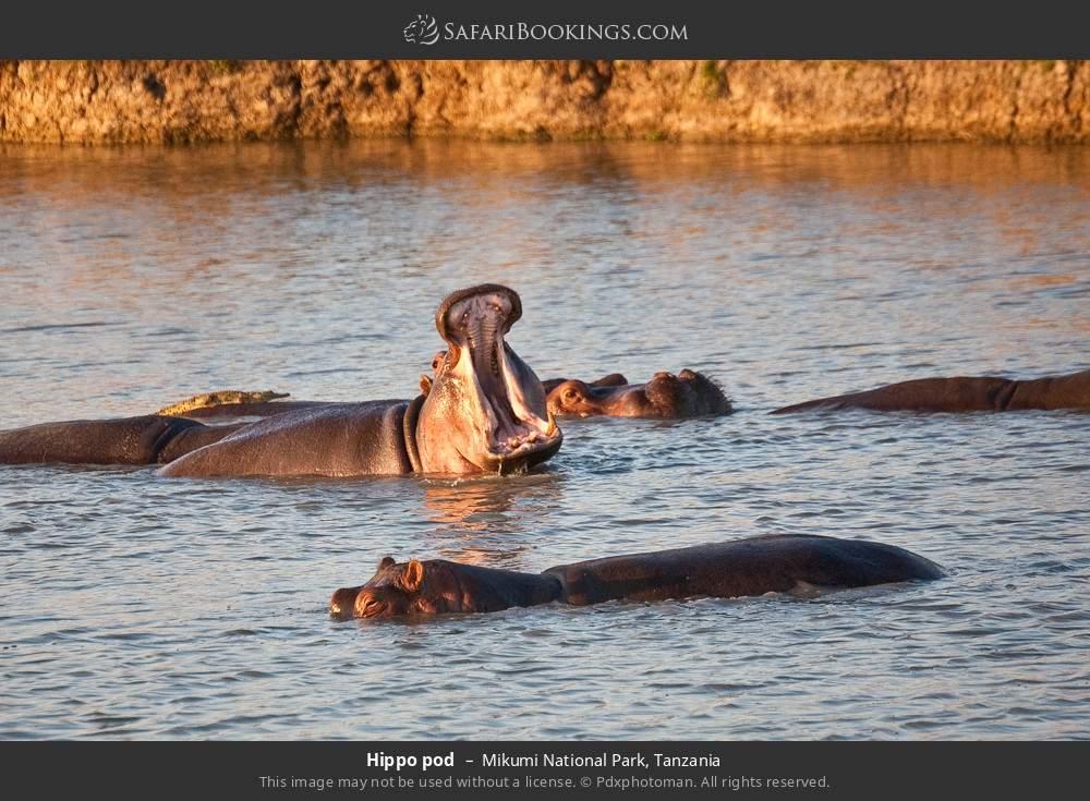 Hippo pod in Mikumi National Park, Tanzania