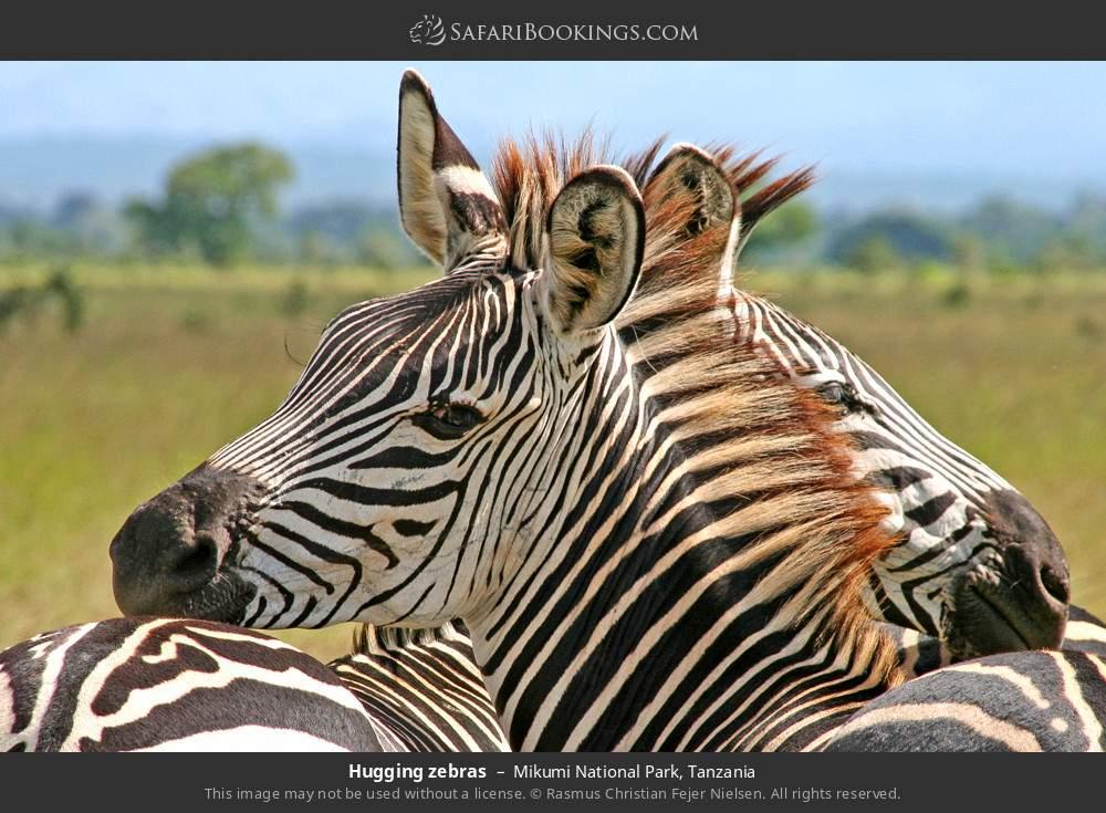 Hugging zebras in Mikumi National Park, Tanzania