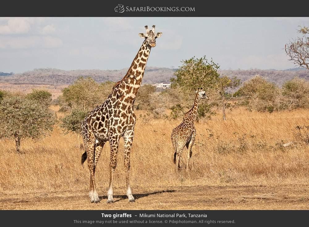 Two giraffes in Mikumi National Park, Tanzania