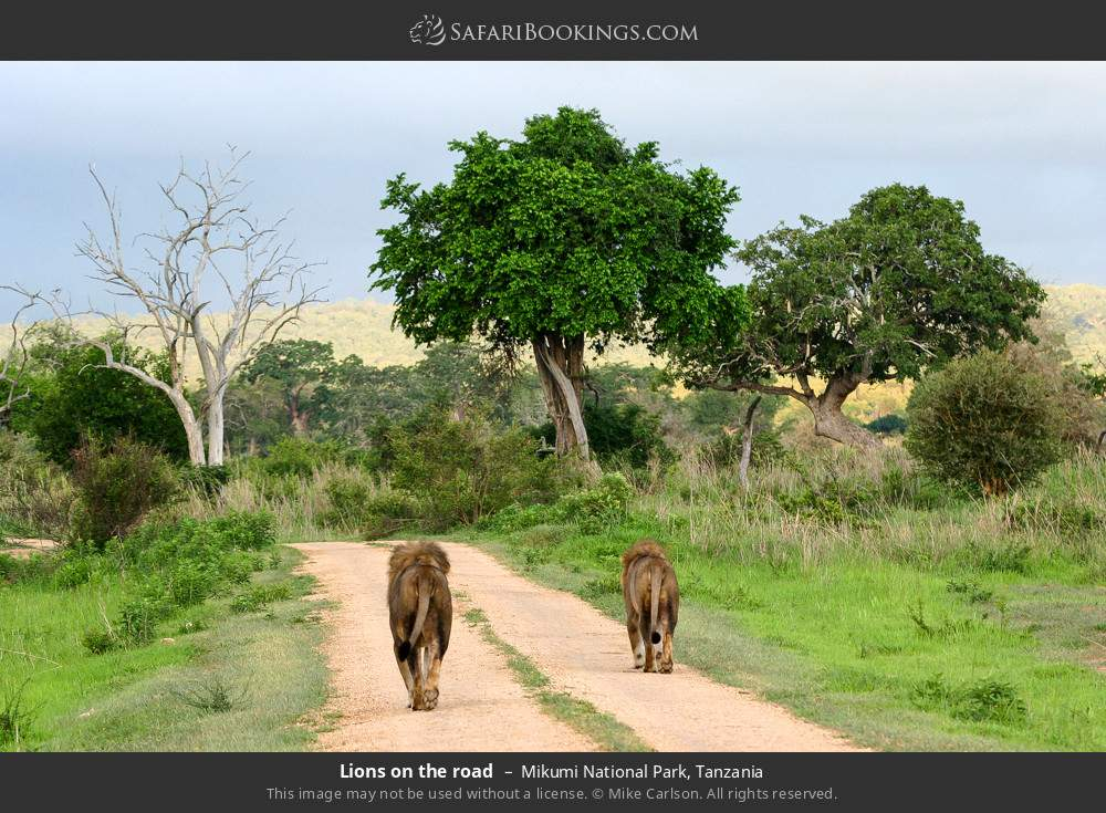 Lions on the road in Mikumi National Park, Tanzania