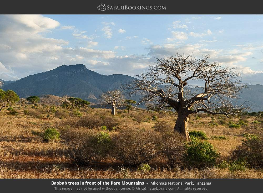 Baobab trees in front of the Pare Mountains in Mkomazi National Park, Tanzania