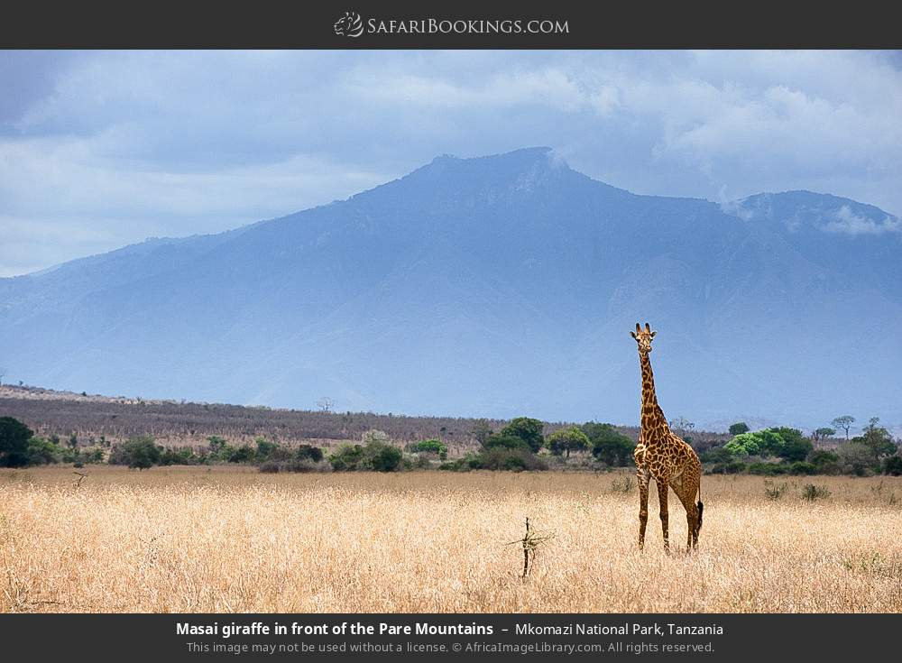 Masai giraffe in front of the Pare Mountains in Mkomazi National Park, Tanzania