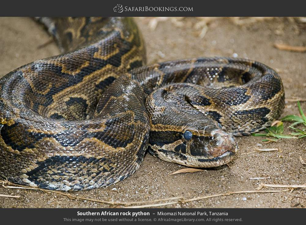 Southern African Rock Python in Mkomazi National Park, Tanzania