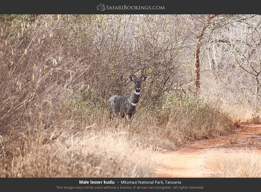 Male lesser kudu in Mkomazi National Park, Tanzania