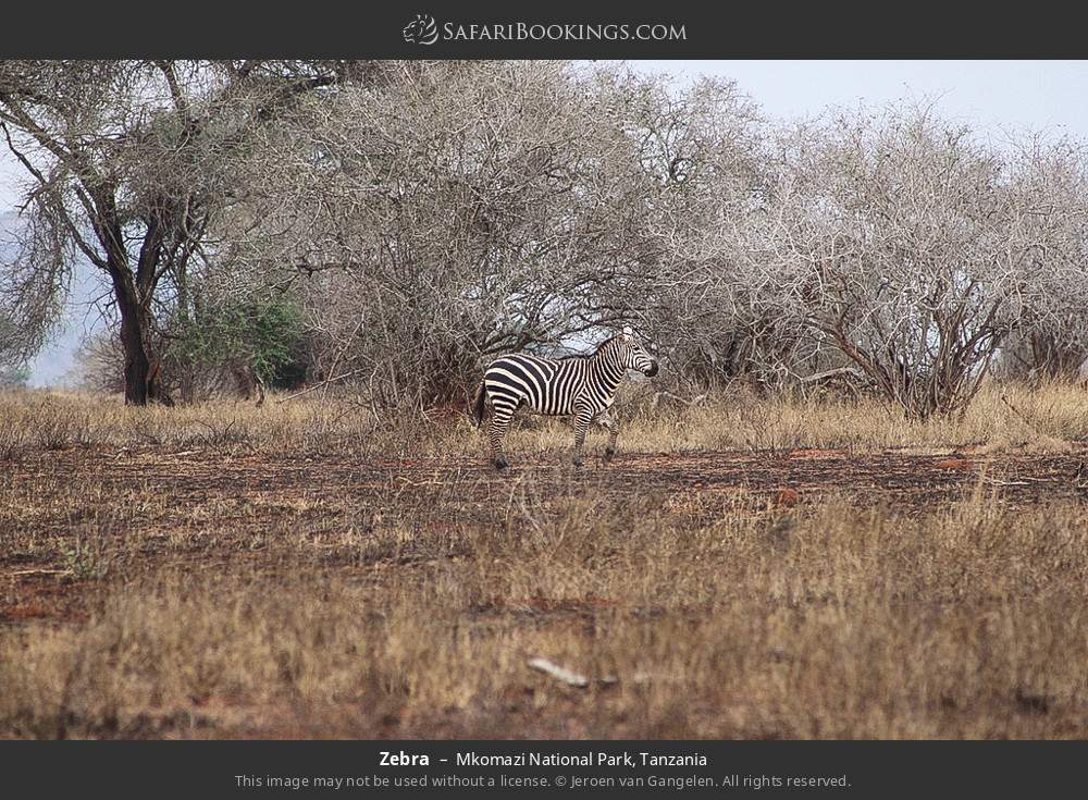 Zebra in Mkomazi National Park, Tanzania