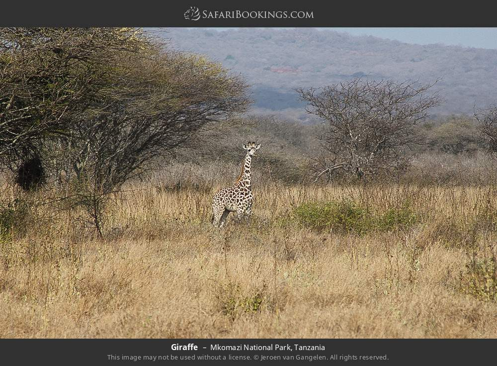 Giraffe in Mkomazi National Park, Tanzania