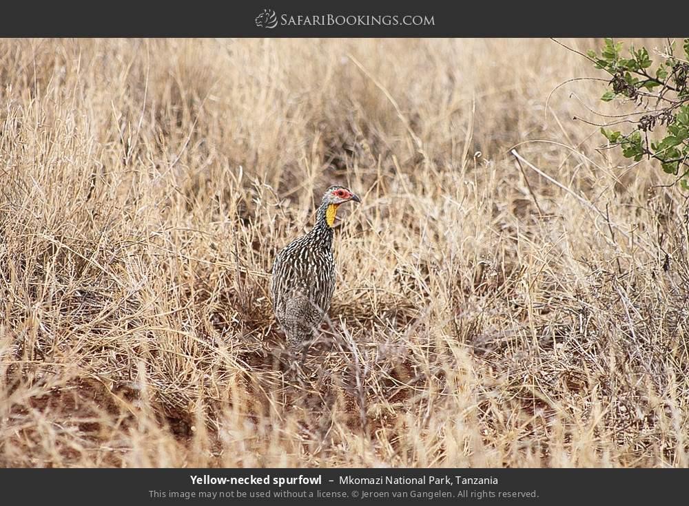 Yellow-necked spurfowl in Mkomazi National Park, Tanzania