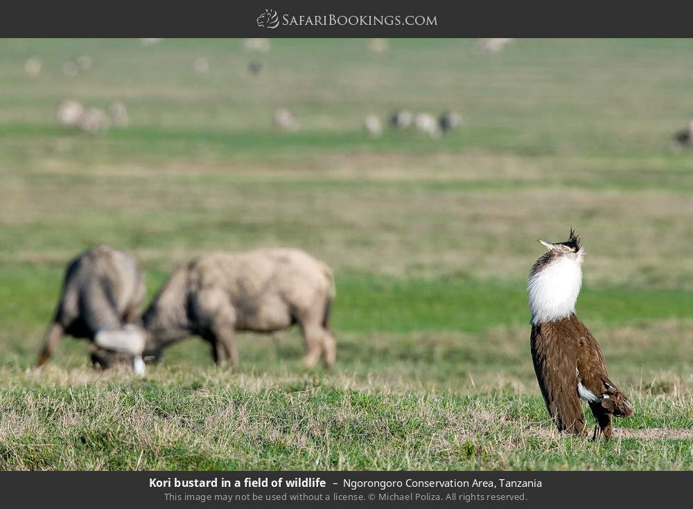 Kori Bustard in a field of wildlife in Ngorongoro Conservation Area, Tanzania
