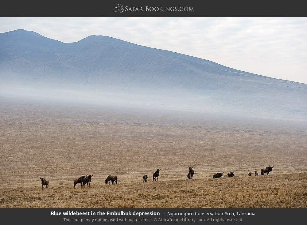 Blue wildebeest in the Embulbuk depression in Ngorongoro Conservation Area, Tanzania