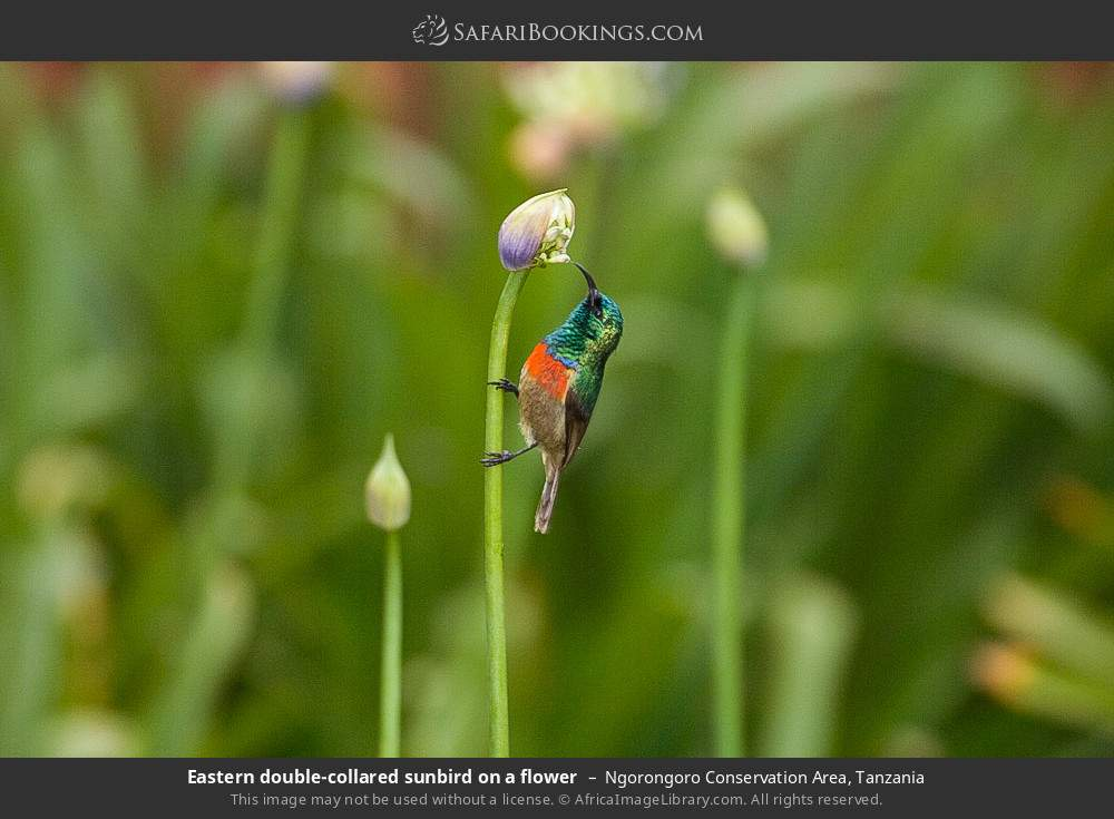 Eastern double-collared sunbird on a flower in Ngorongoro Conservation Area, Tanzania