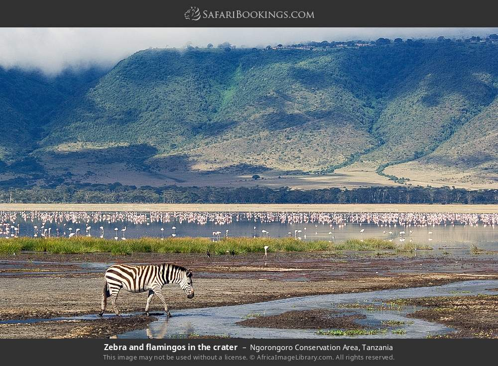 Zebra and flamingos in the crater in Ngorongoro Conservation Area, Tanzania