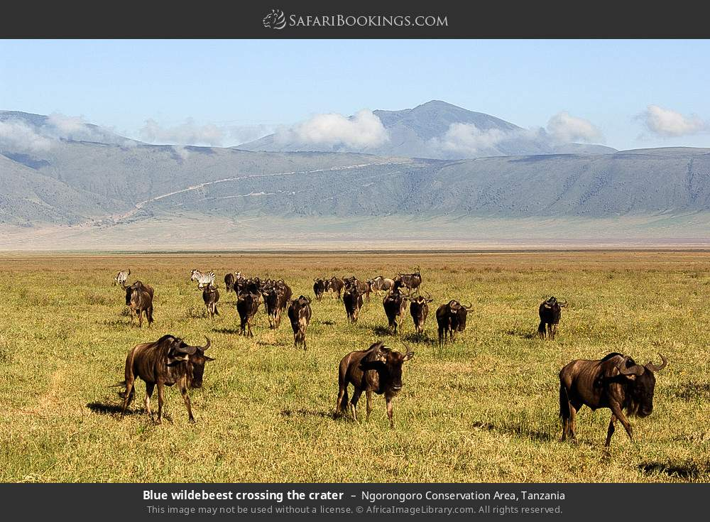 Blue wildebeest crossing the crater in Ngorongoro Conservation Area, Tanzania