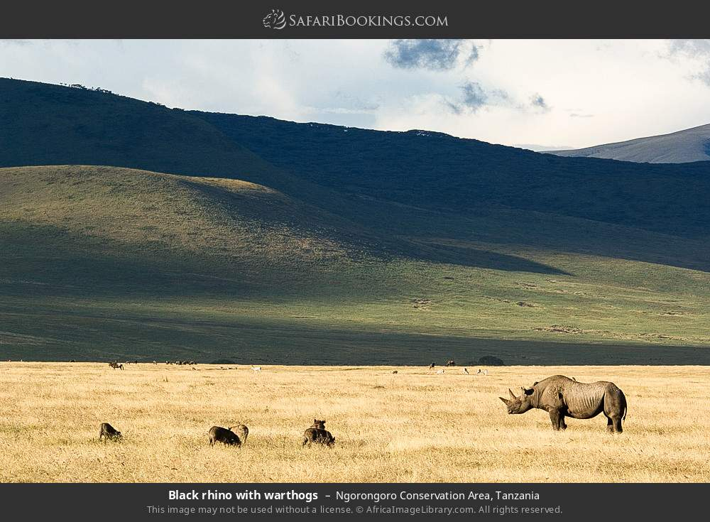 Black rhino with warthogs in Ngorongoro Conservation Area, Tanzania