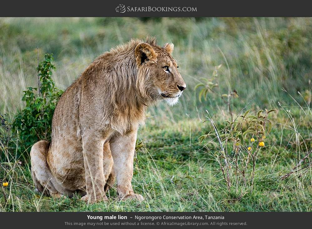 Young male lion in Ngorongoro Conservation Area, Tanzania