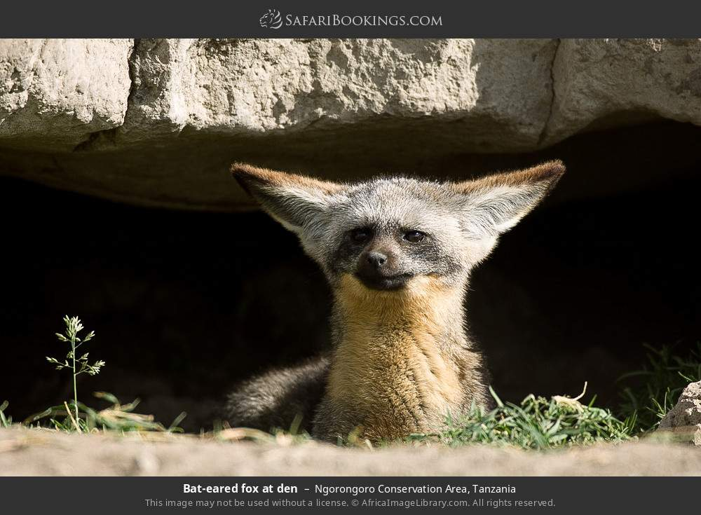 Bat-eared fox at den in Ngorongoro Conservation Area, Tanzania