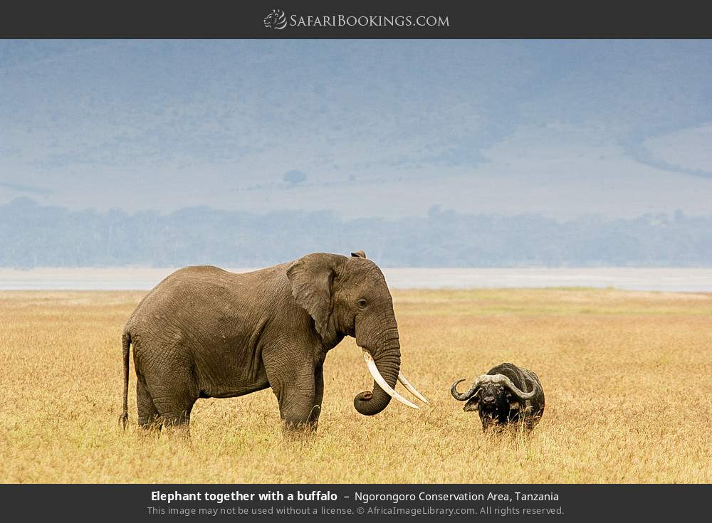Elephant together with a buffalo in Ngorongoro Conservation Area, Tanzania