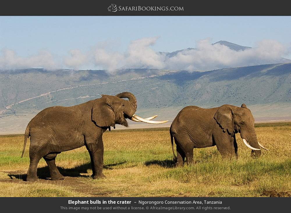 Elephant bulls in the crater in Ngorongoro Conservation Area, Tanzania