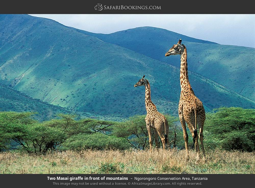 Two Masai giraffe in front of mountains in Ngorongoro Conservation Area, Tanzania