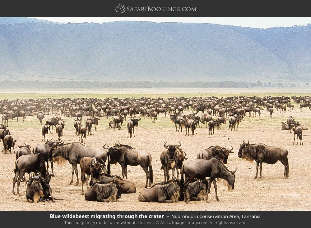 Blue wildebeest migrating through the crater in Ngorongoro Conservation Area, Tanzania