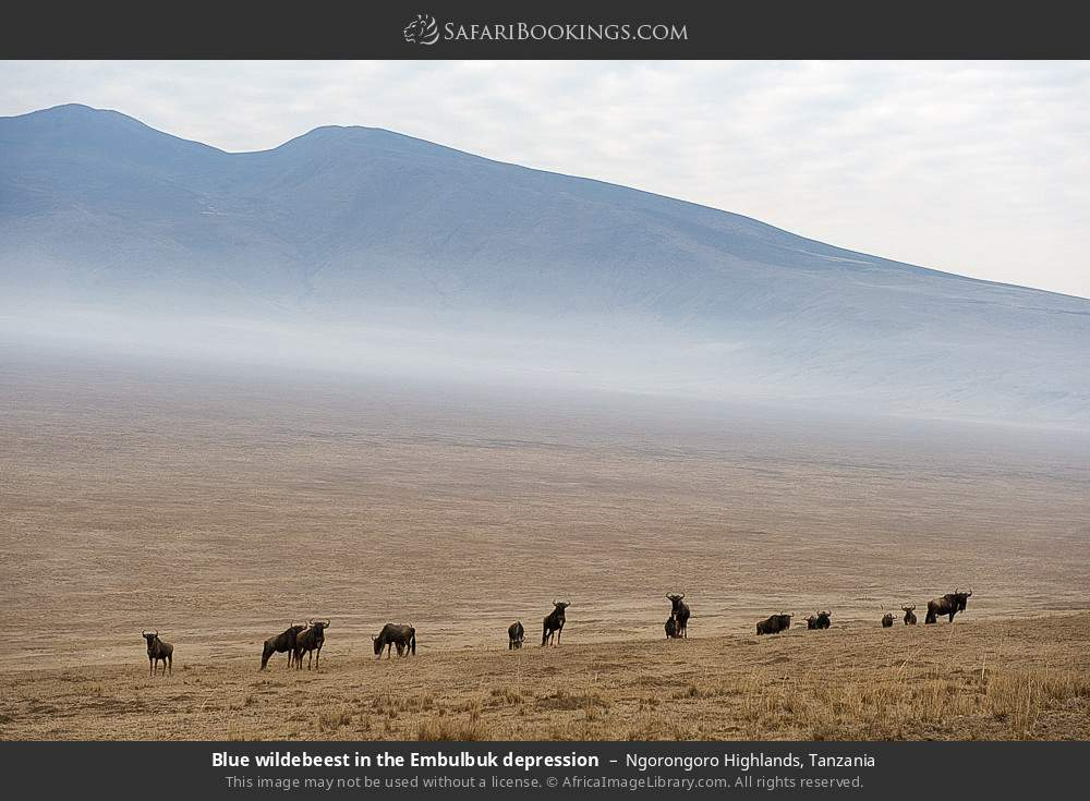 Blue wildebeest in the Embulbuk depression in Ngorongoro Highlands, Tanzania