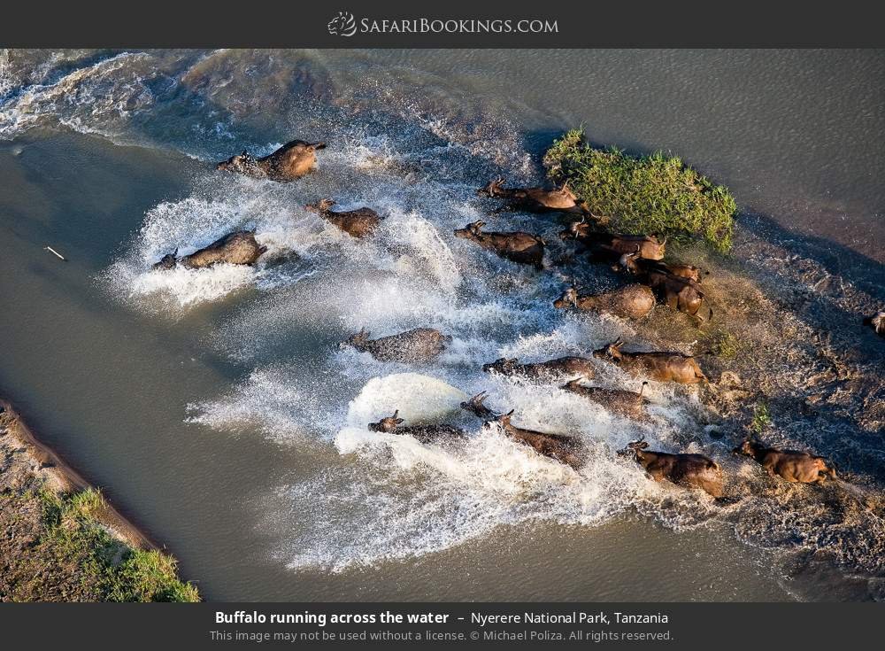 Buffalo running across the water in Nyerere National Park, Tanzania