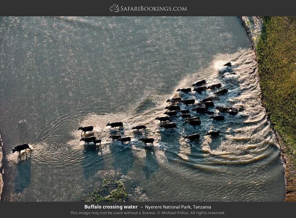 Buffalo crossing water in Nyerere National Park, Tanzania