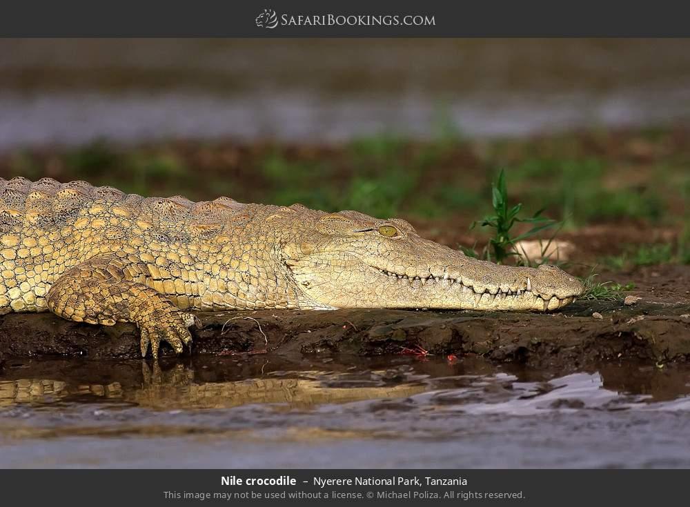 Nile crocodile in Nyerere National Park, Tanzania