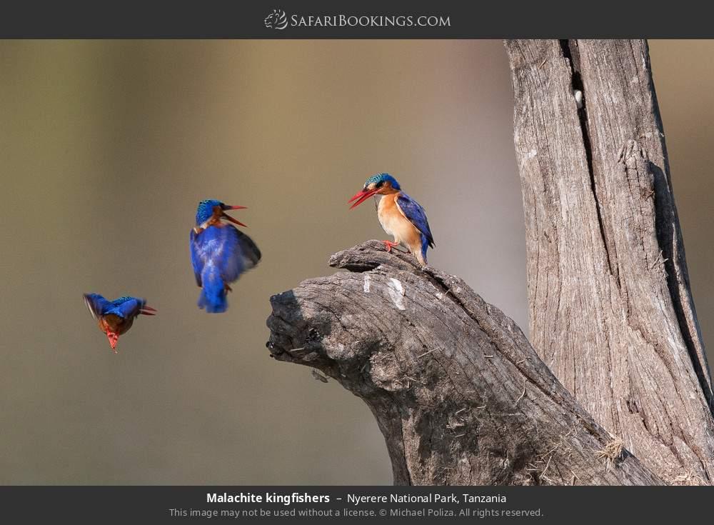 Malachite kingfishers in Nyerere National Park, Tanzania
