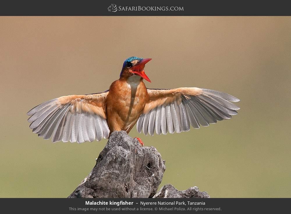 Malachite kingfisher in Nyerere National Park, Tanzania