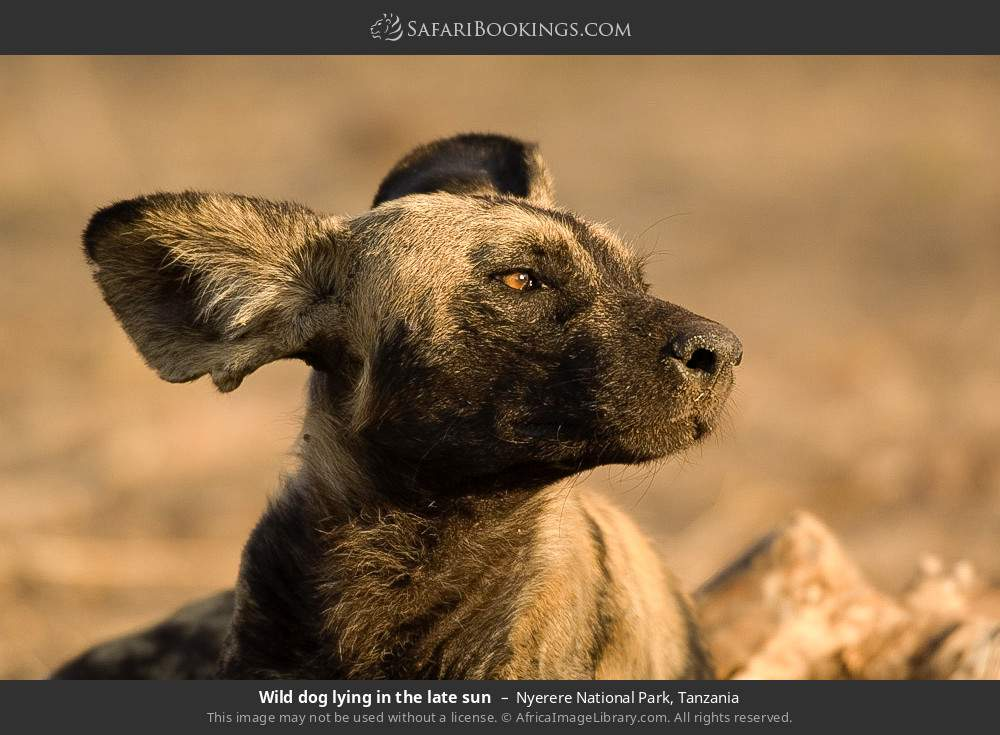 Wild dog laying in the late sun in Nyerere National Park, Tanzania