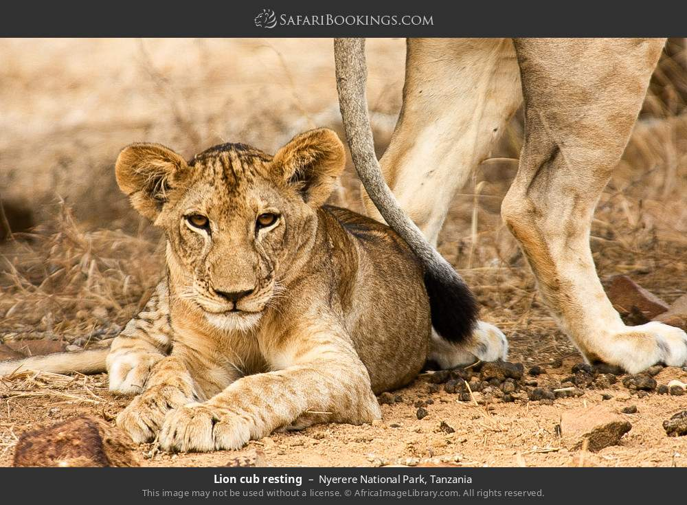 Lion cub resting in Nyerere National Park, Tanzania