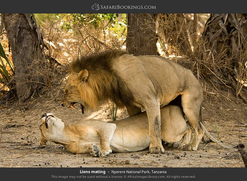 Lions mating in Nyerere National Park, Tanzania