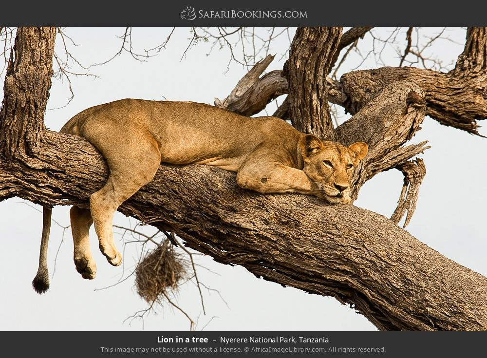Lion in a tree in Nyerere National Park, Tanzania