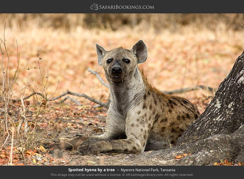 Spotted hyena by a tree in Nyerere National Park, Tanzania
