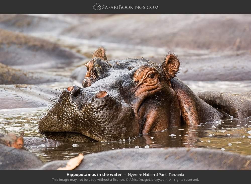 Hippopotamus in the water in Nyerere National Park, Tanzania