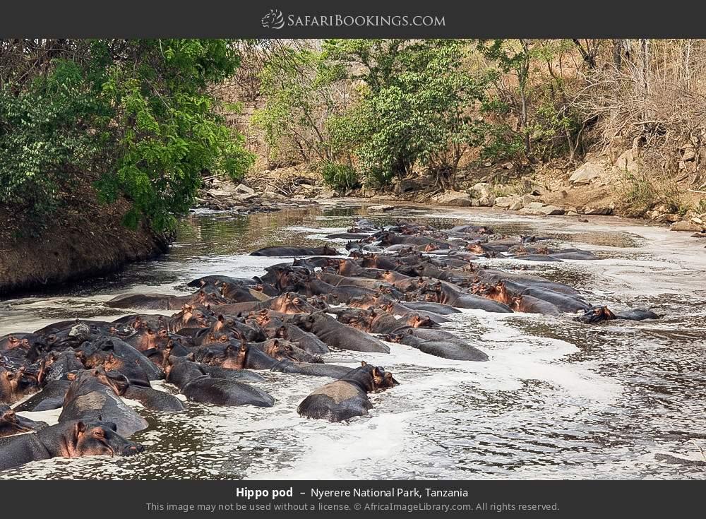 Hippo pod in Nyerere National Park, Tanzania