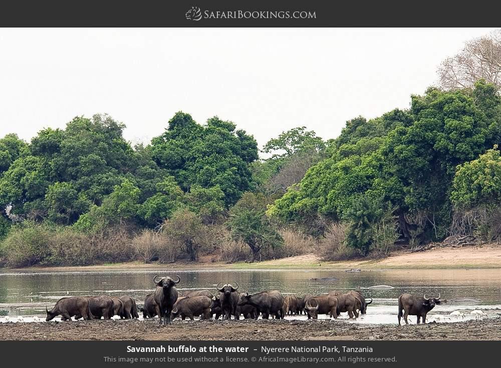Savannah buffalo at the water in Nyerere National Park, Tanzania