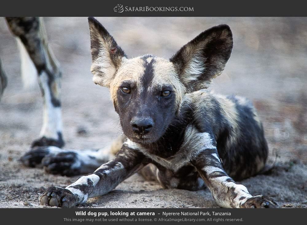 Wild dog pup, looking at camera in Nyerere National Park, Tanzania