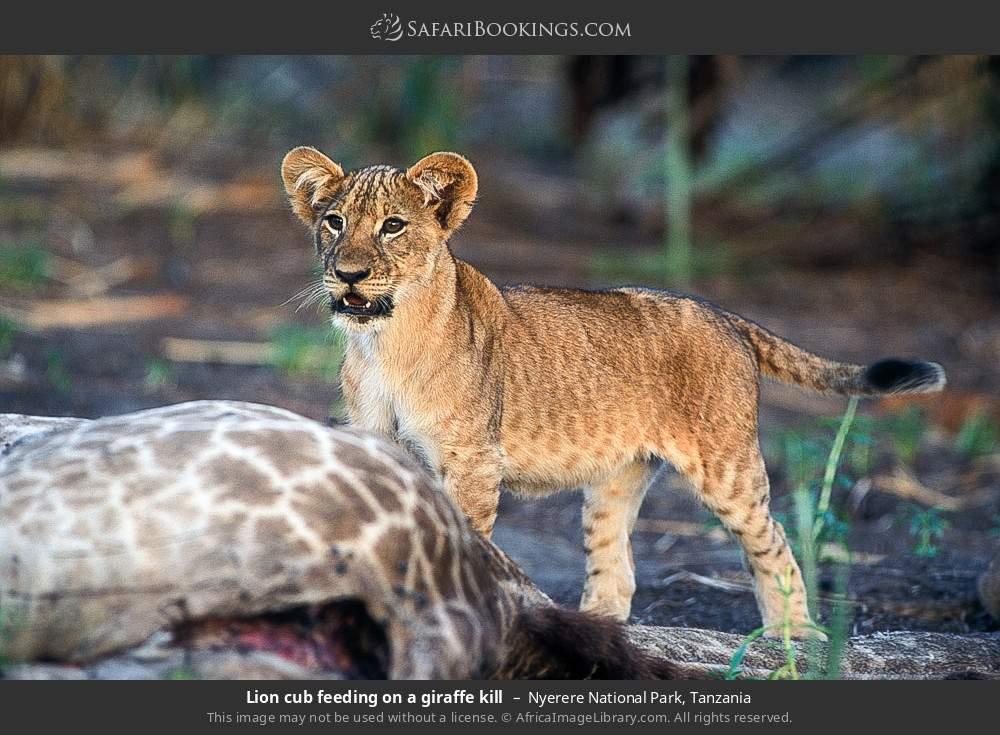 Lion cub feeding on a giraffe kill in Nyerere National Park, Tanzania