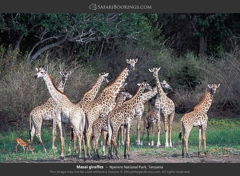 Masai giraffes in Nyerere National Park, Tanzania