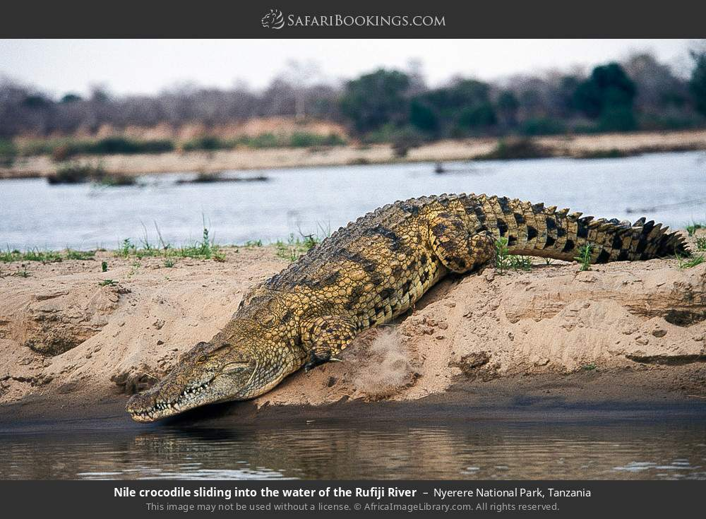 Nile crocodile sliding into the water of the Rufiji river in Nyerere National Park, Tanzania