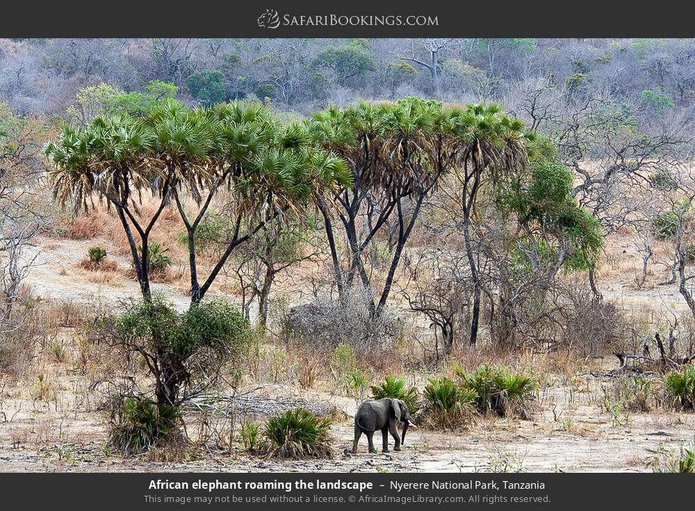 African elephant roaming the landscape in Nyerere National Park, Tanzania