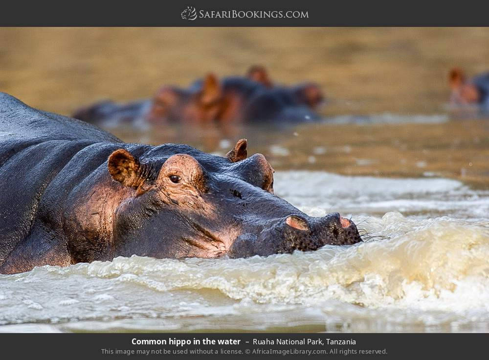 Common hippo in the water in Ruaha National Park, Tanzania