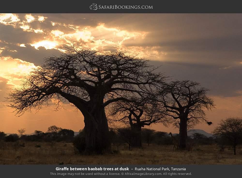 Giraffe between baobab trees at dusk in Ruaha National Park, Tanzania