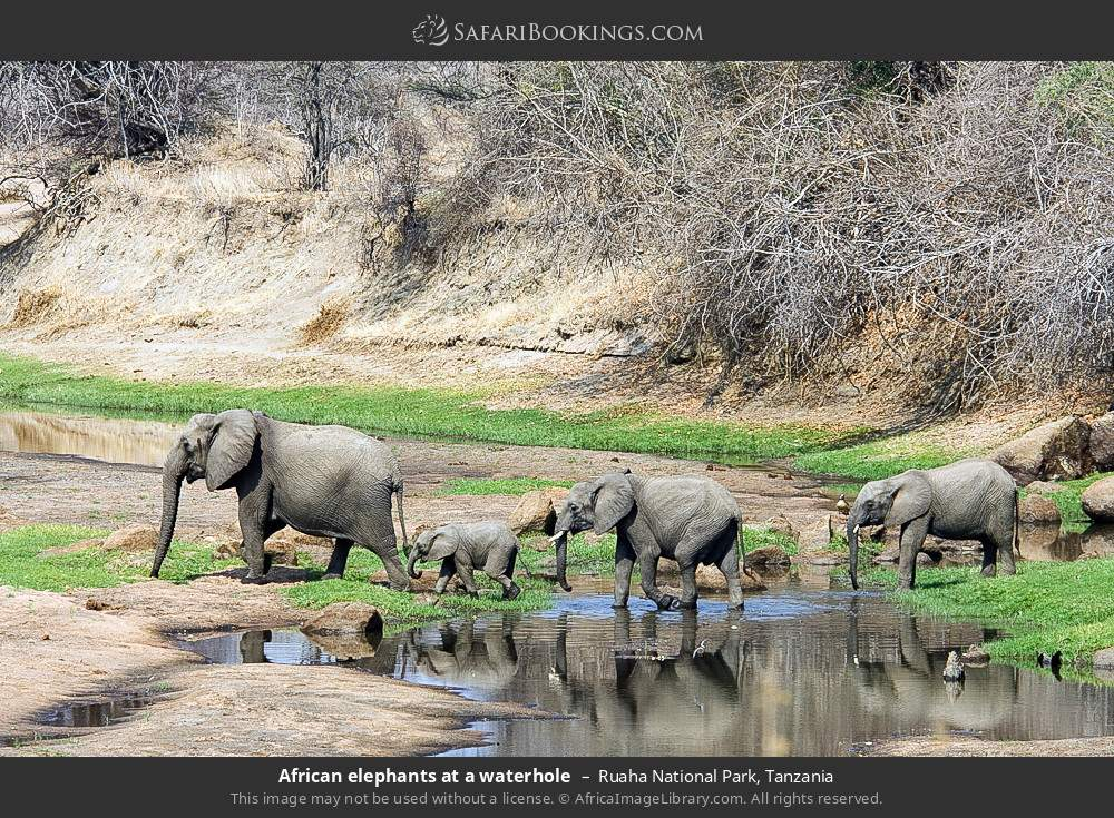 African elephants at a water hole in Ruaha National Park, Tanzania