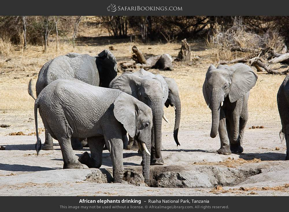 African elephants drinking in Ruaha National Park, Tanzania