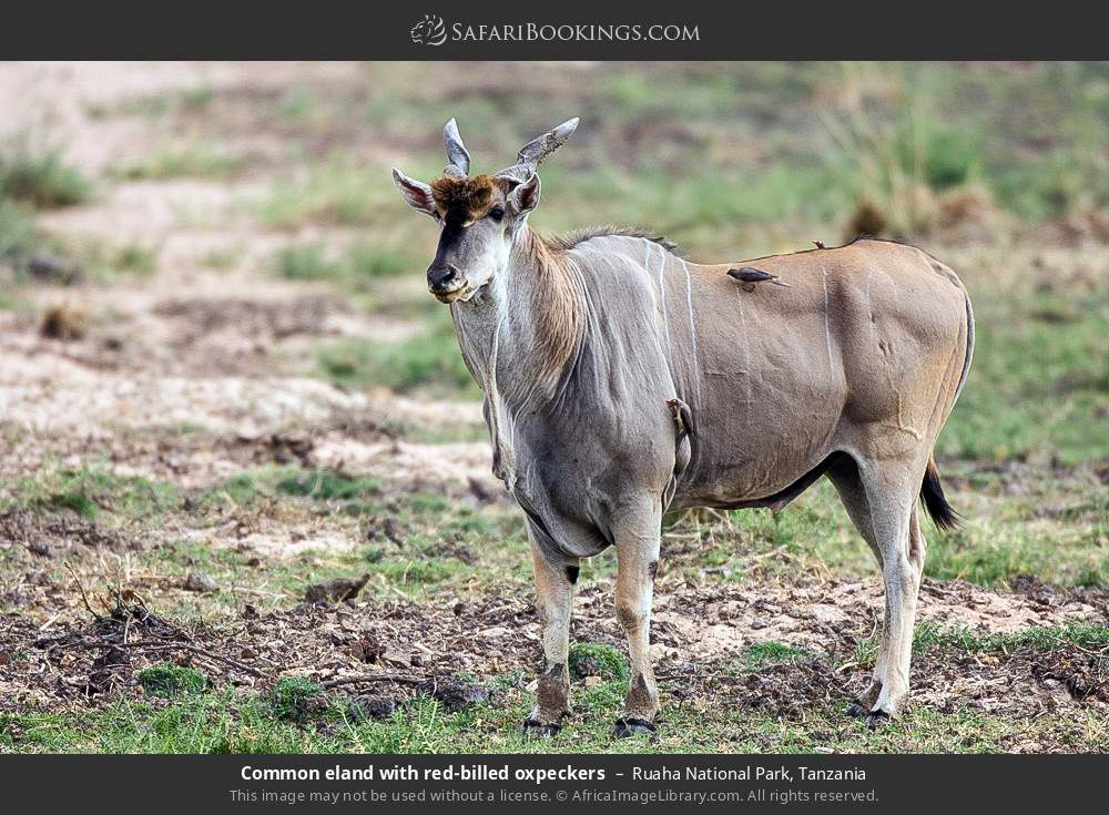 Common eland with red-billed oxpeckers in Ruaha National Park, Tanzania
