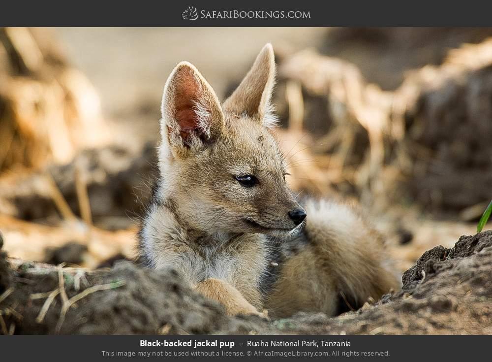 Black-backed jackal pup in Ruaha National Park, Tanzania