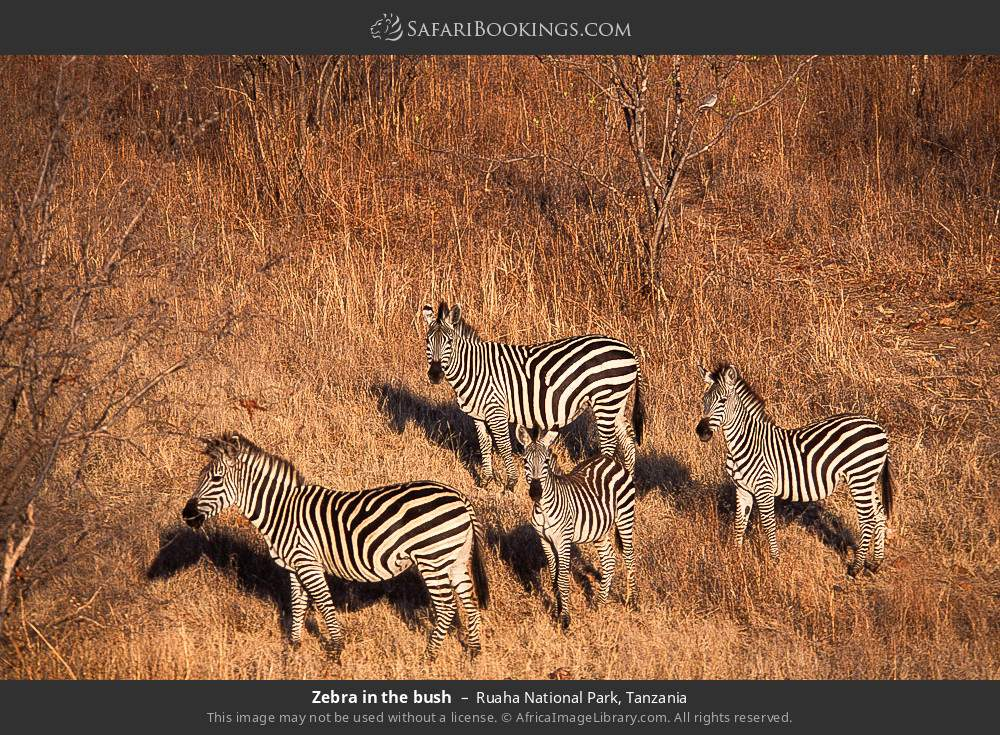 Zebra in the bush in Ruaha National Park, Tanzania