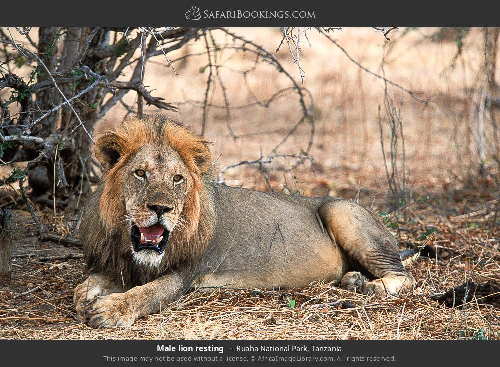 Male lion resting in Ruaha National Park, Tanzania